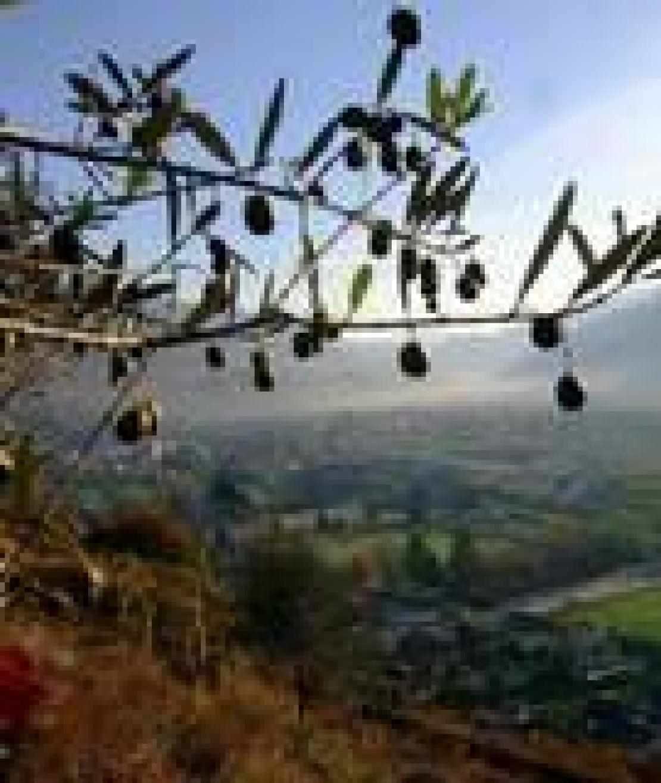 Grandi imprese. Gli olivi in Valtellina sono ormai una realtà