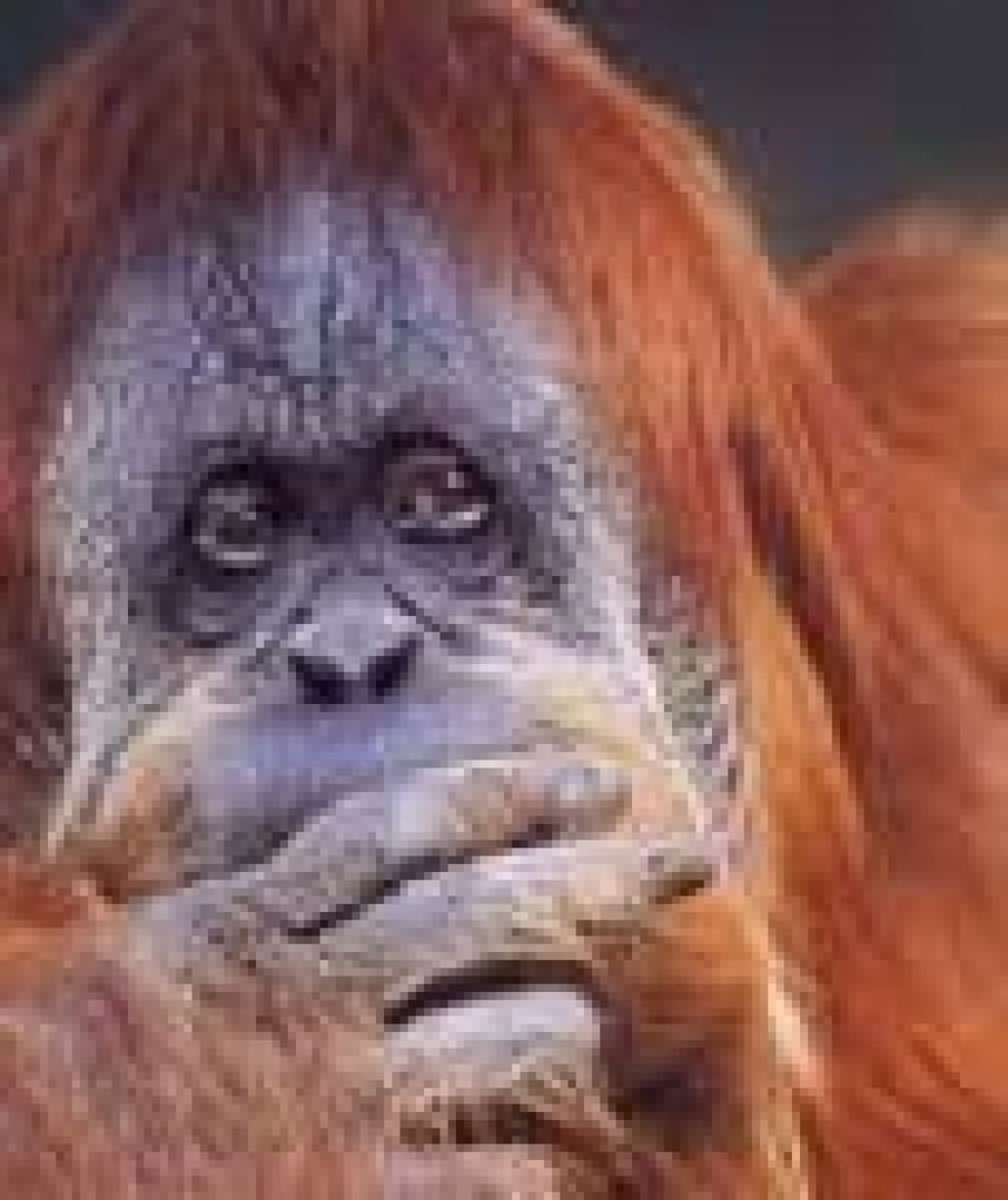 Suvvia! Perché non accettiamo la scimmia che è in noi?