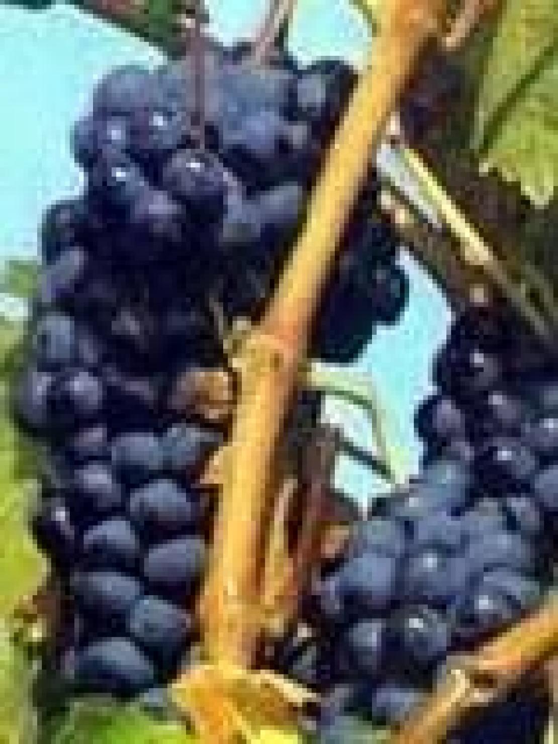 Il Carignano e la viticoltura eco-sostenibile del Sulcis