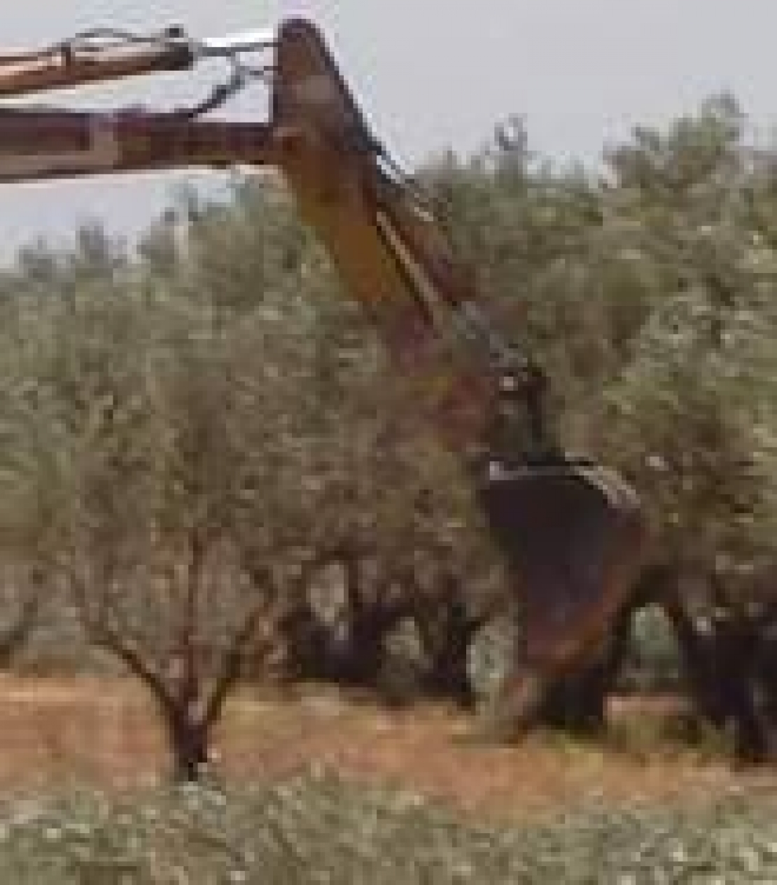 Olivi abbattuti senza pietà. Il grido di dolore della ricerca in Italia