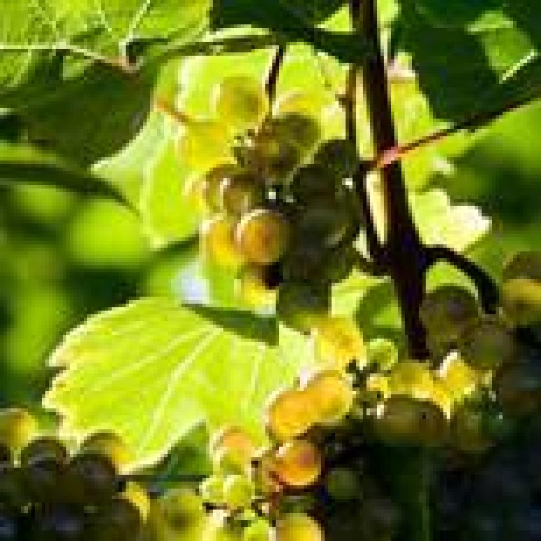 I cambiamenti climatici sono un'opportunità per la viticoltura italiana