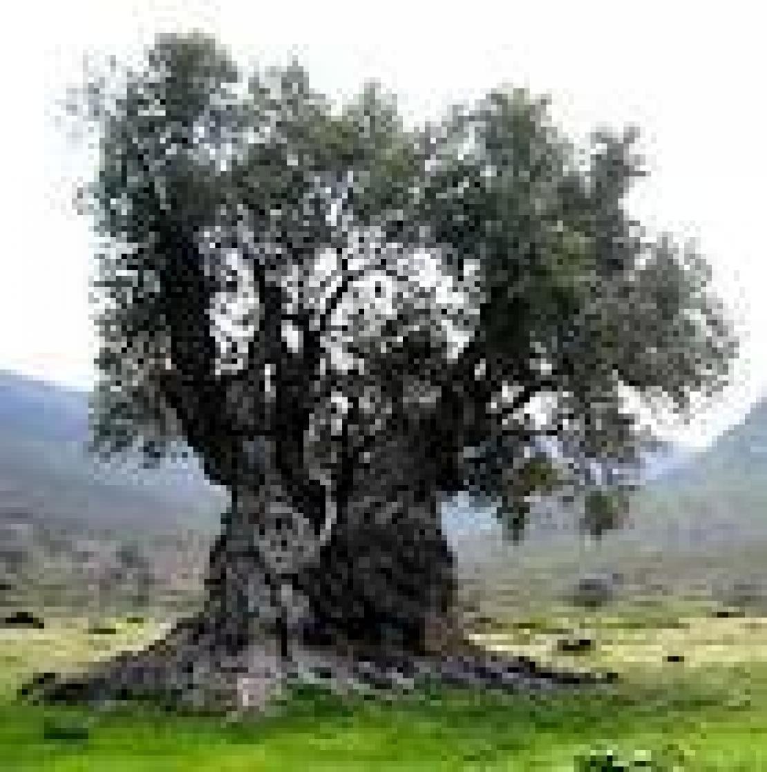 Salviamo il paesaggio olivicolo