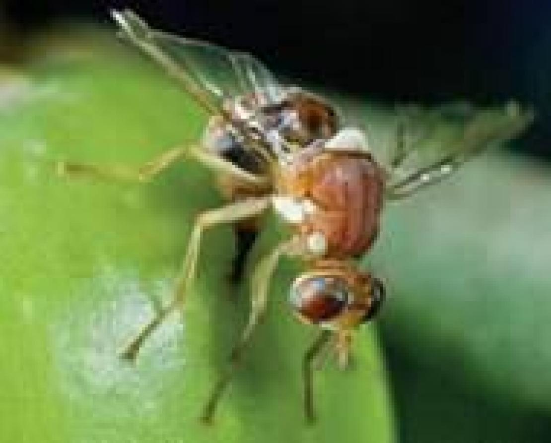 L'ingegneria genetica per combattere la mosca delle olive