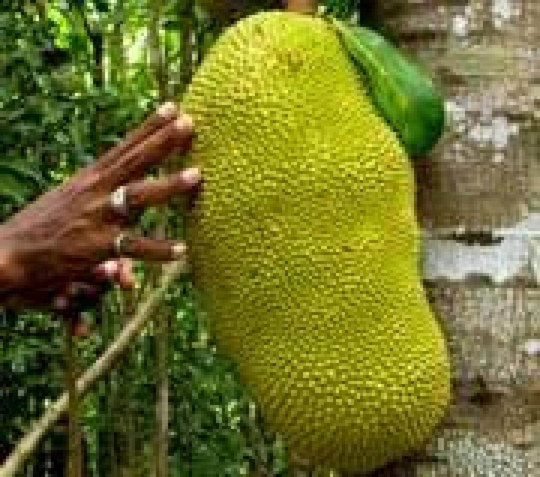 Jackfruit, un frutto per tutti i sensi