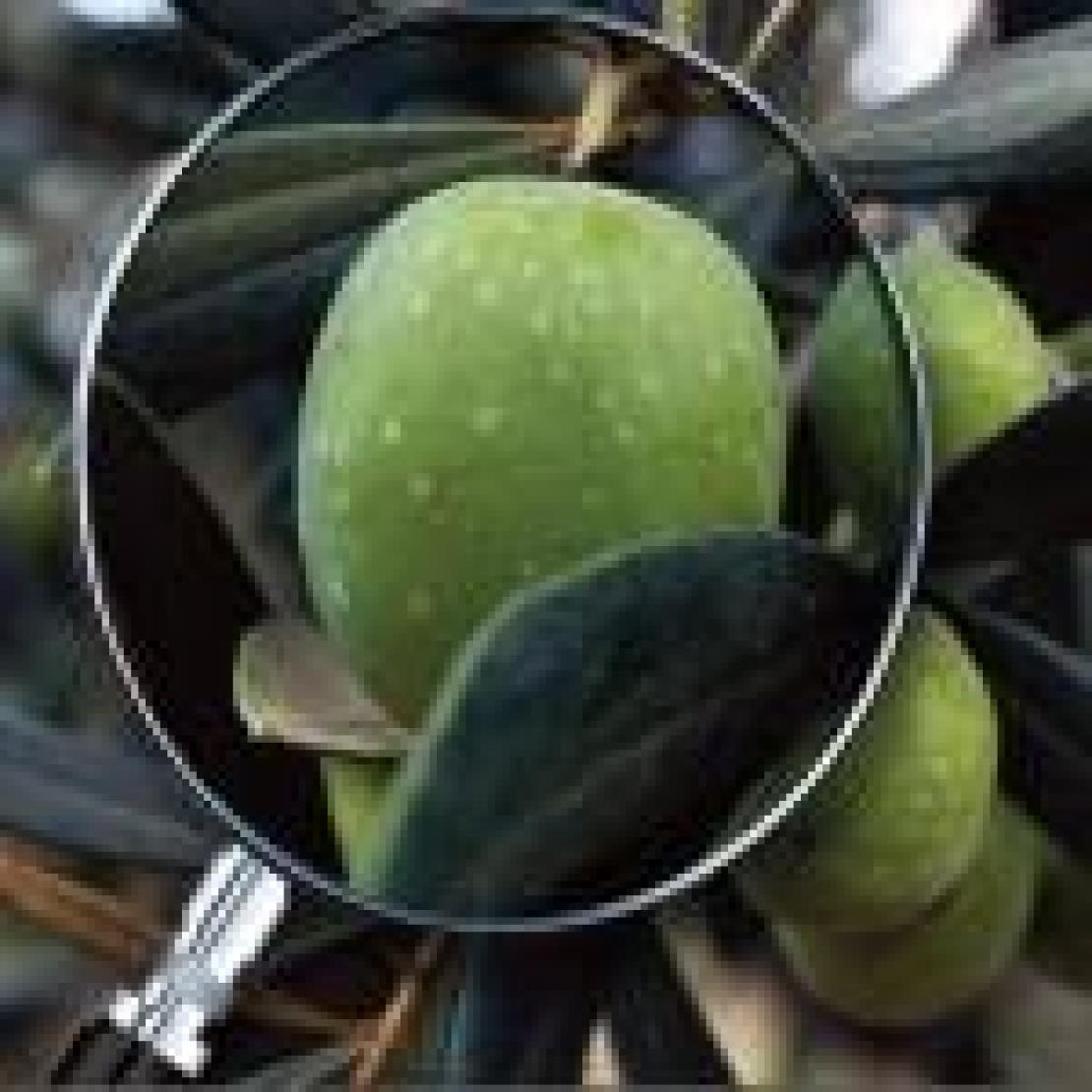 Là dove l'olivo ha messo radici: la Valle del Belice