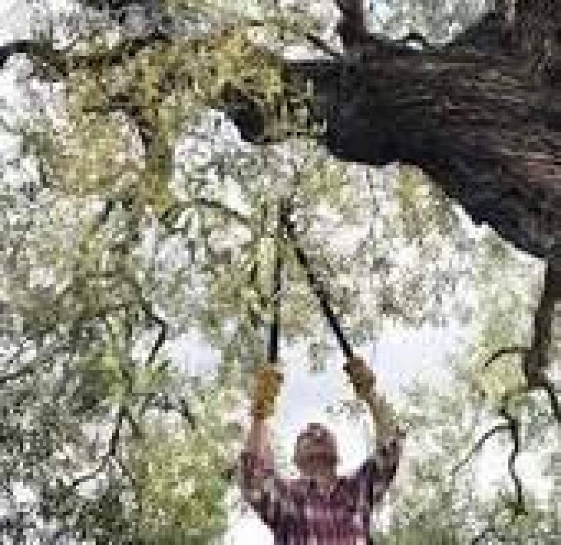 Potatura olivo: errori comuni e tecniche consigliate
