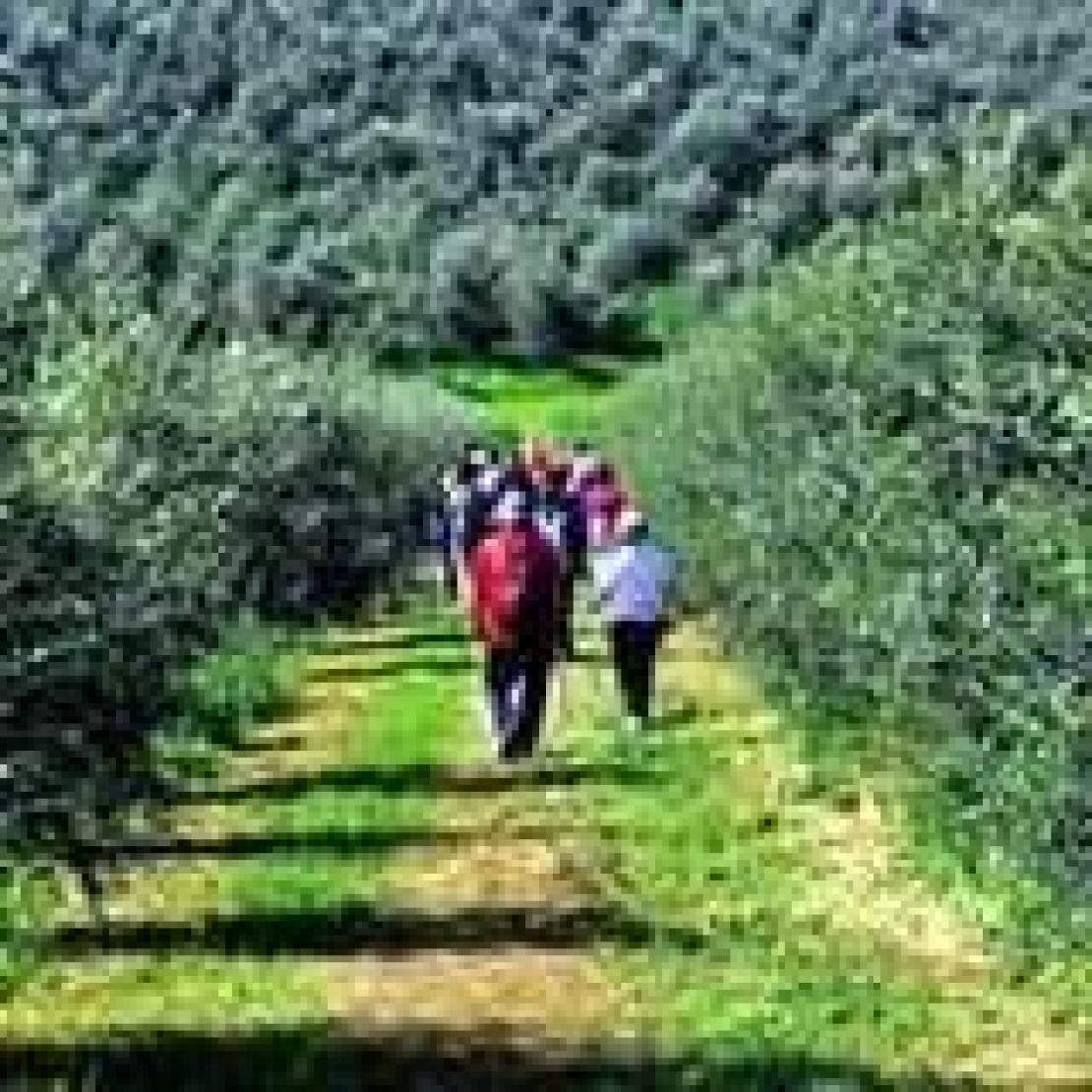 Guardare oltre la produzione. Debutta il Nordic Walking tra gli olivi
