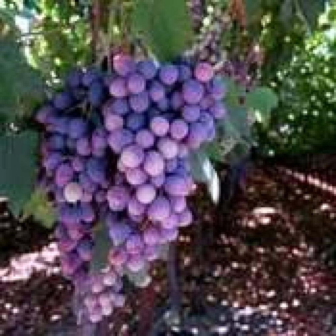 L'analisi chimica ha i suoi limiti. Per stabilire il potenziale qualitativo delle uve è utile affidarsi al metodo sensoriale