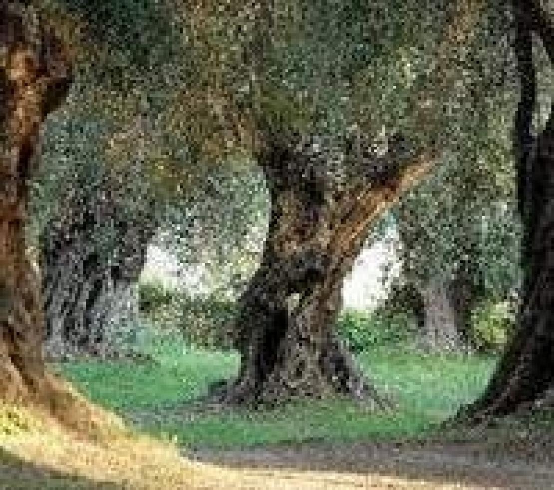 Un occhio professionale ma inusuale sull'olivicoltura italiana