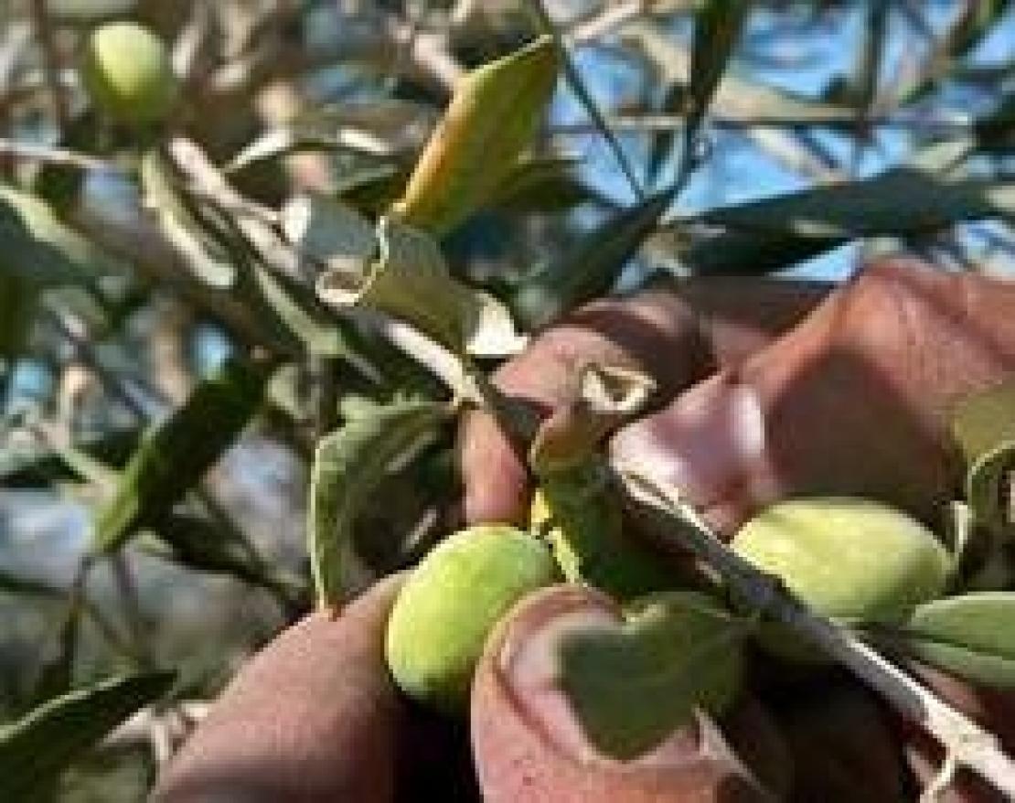 Di tutti i colori: raccogliere e molire le olive quest'anno può far male alla salute
