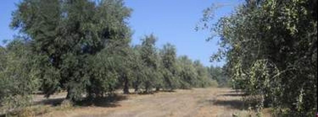 Quando è un olivicoltore a raccontare l'eccellenza olearia sarda