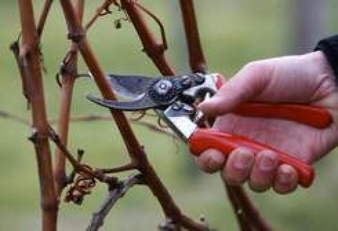 Le nuove scuole di potatura della vite rispondono davvero alle esigenze dei viticoltori?