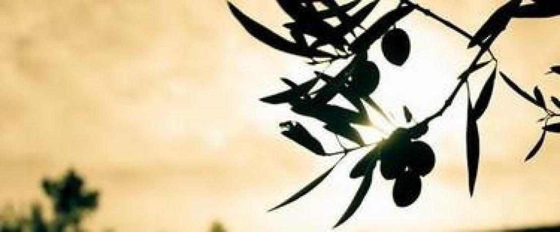 Spinosad, spintor fly e la lotta biologica contro la mosca delle olive