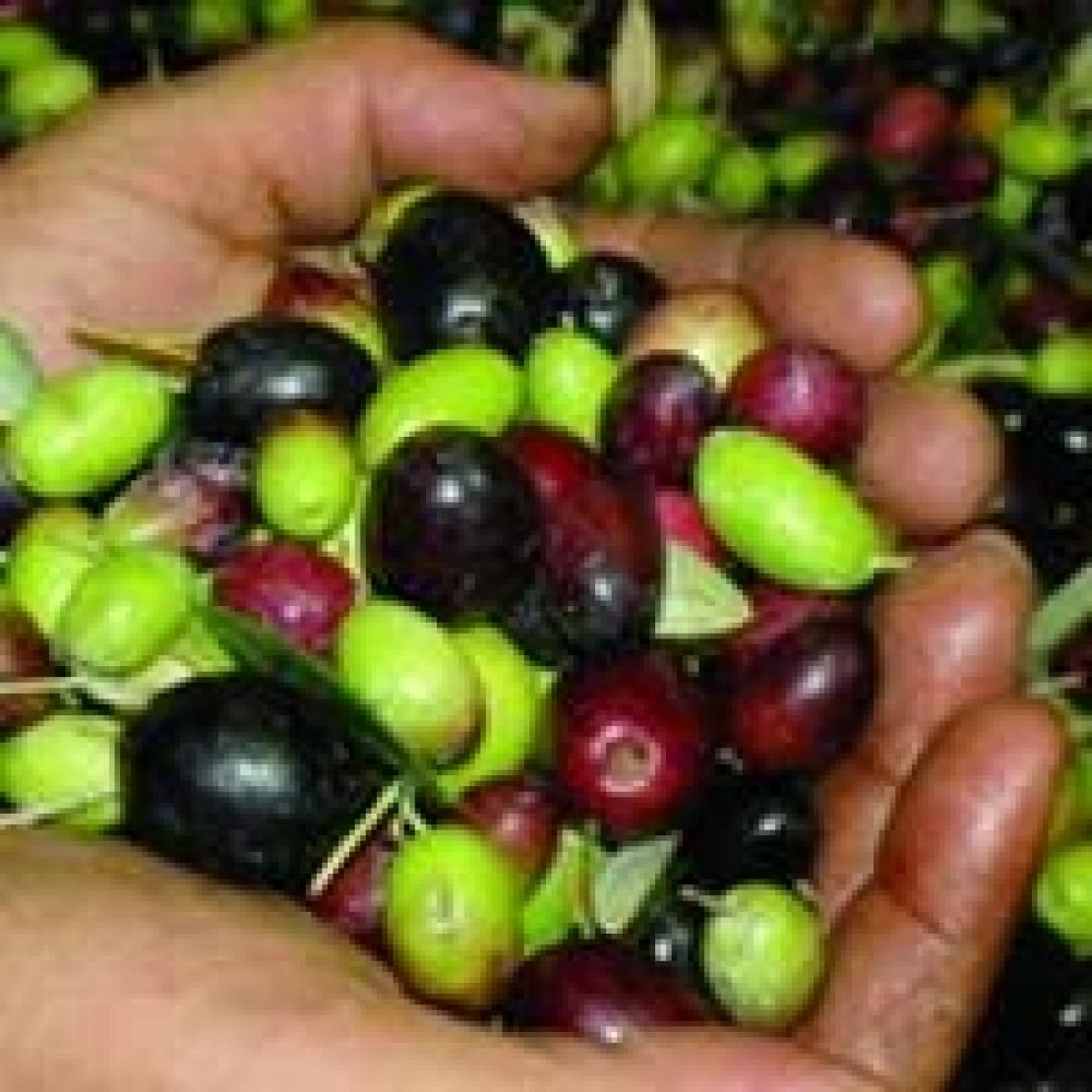L'olio d'oliva artigianale diventa un caso editoriale
