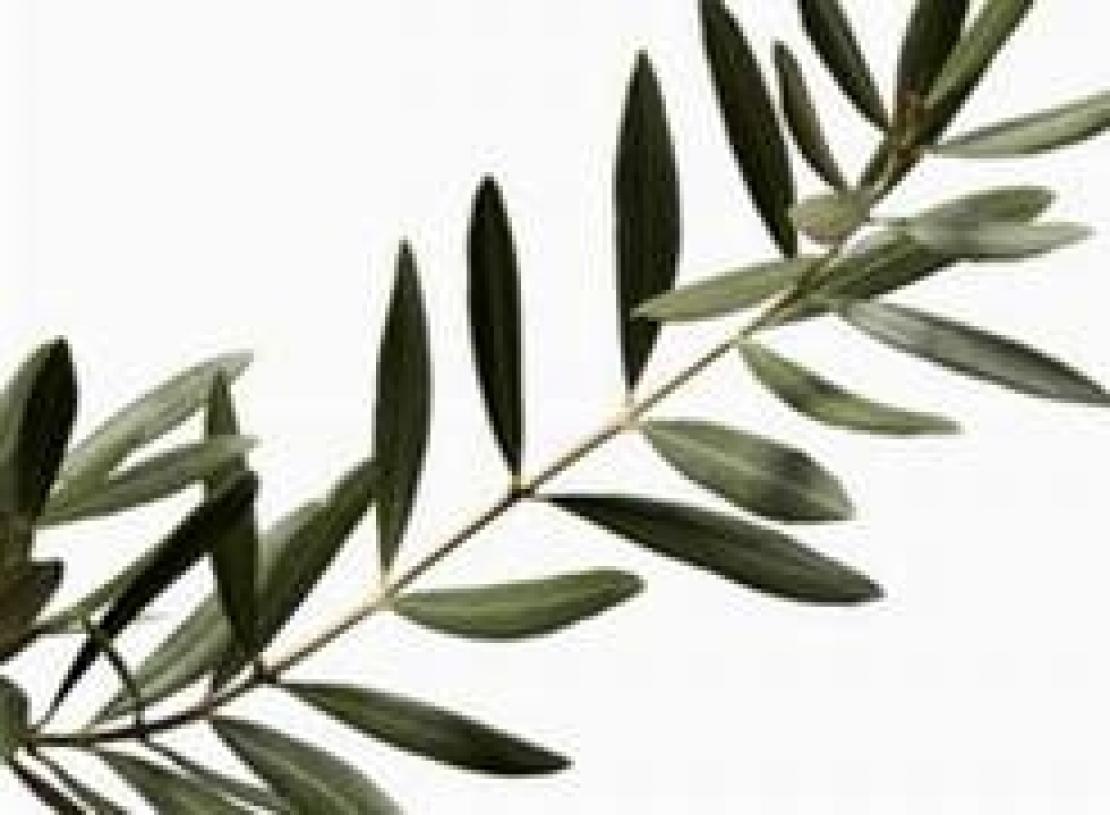 L'olivo non è poesia ma terapia per l'umanità. L'oro liquido nutre anche l'anima