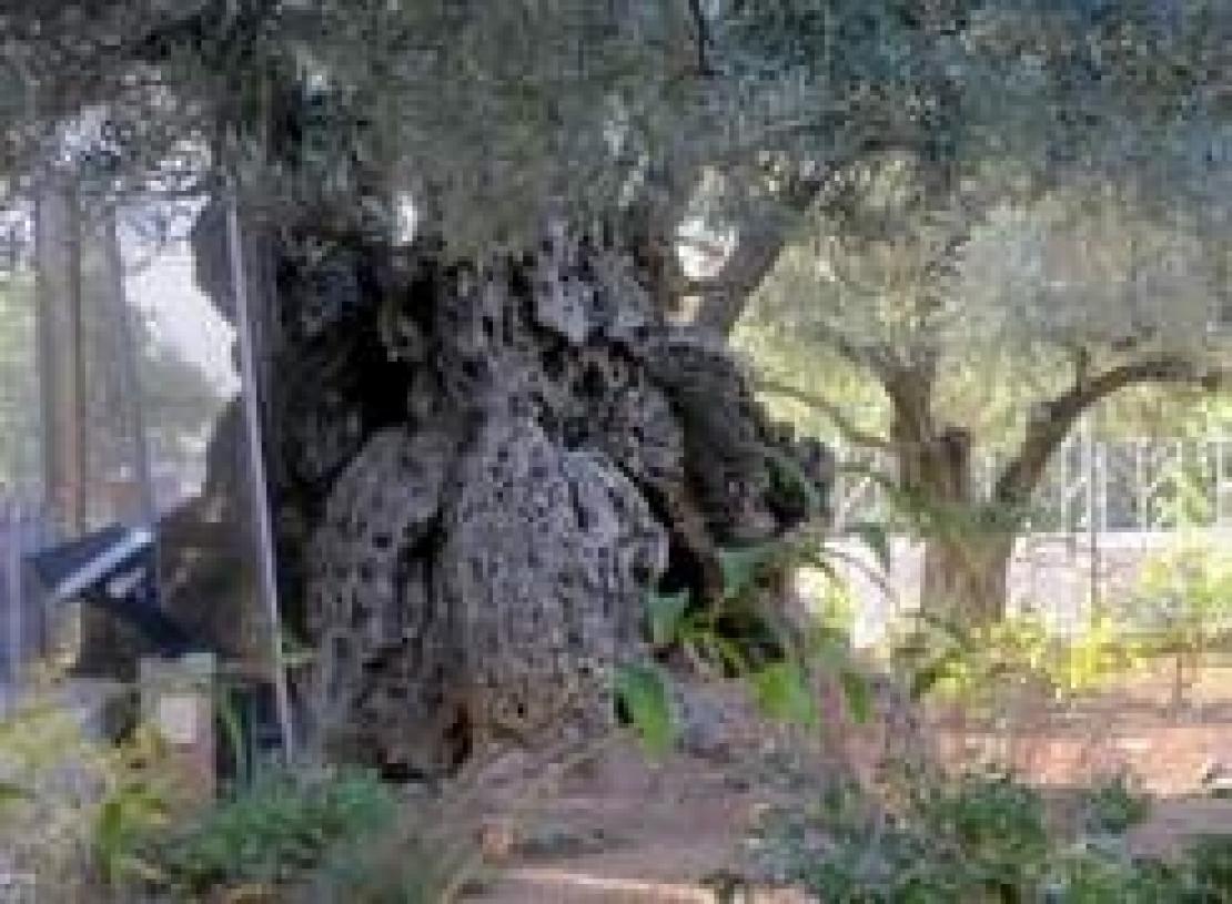 A Gerusalemme, sulla collina del Gestemani, per potare gli olivi più famosi al mondo