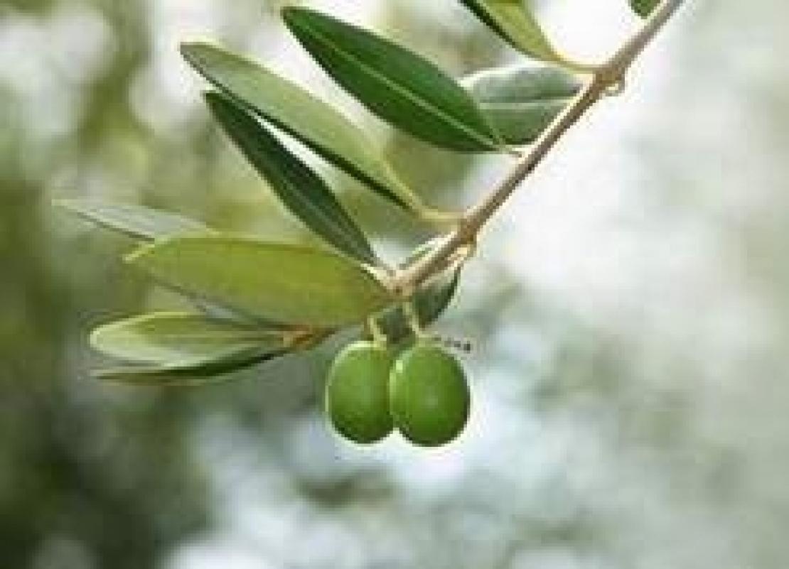 La pacciamatura è una valida alternativa alla classica gestione del suolo dell'oliveto