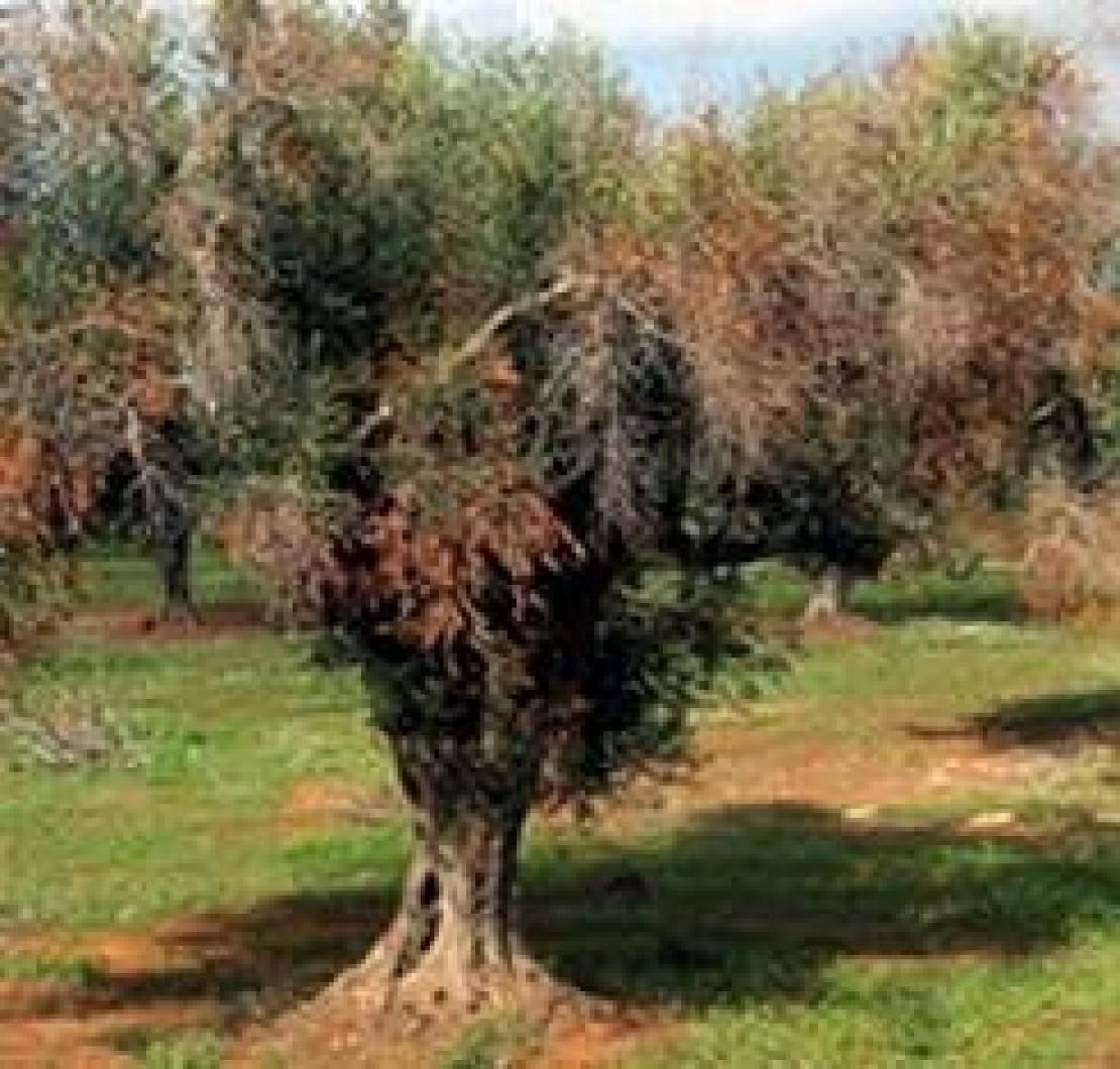 I funghi, da soli, non possono causare il disseccamento rapido dell'olivo. E' solo Xylella fastidiosa?