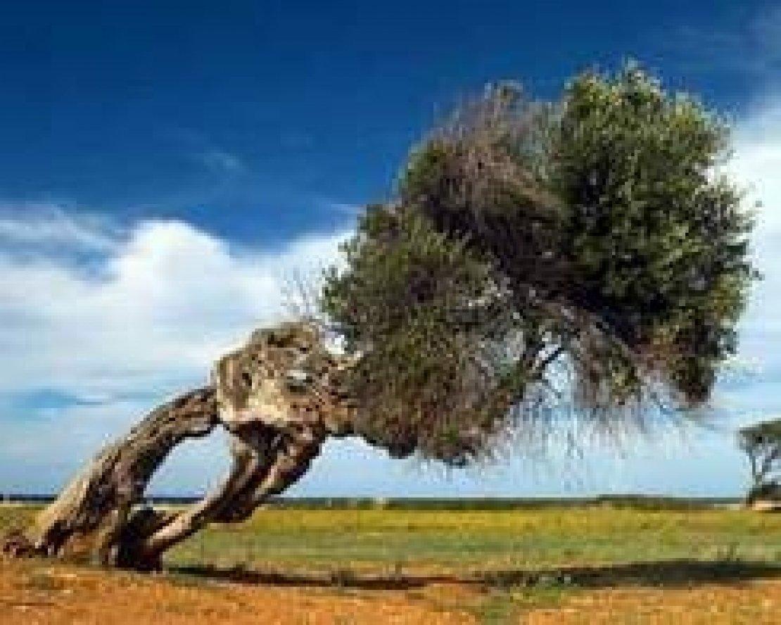 L'olivo fonte di ispirazione per i pittori. Così è entrato di diritto nella storia dell'arte