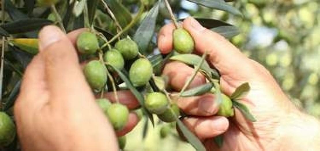 La Sardegna sa stupire per complessità aromatica dei suoi extra vergini