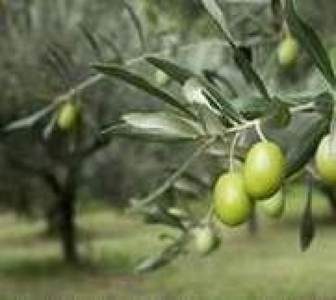 Dialogo e confronto alla base di una rinascita dell'olivicoltura nazionale
