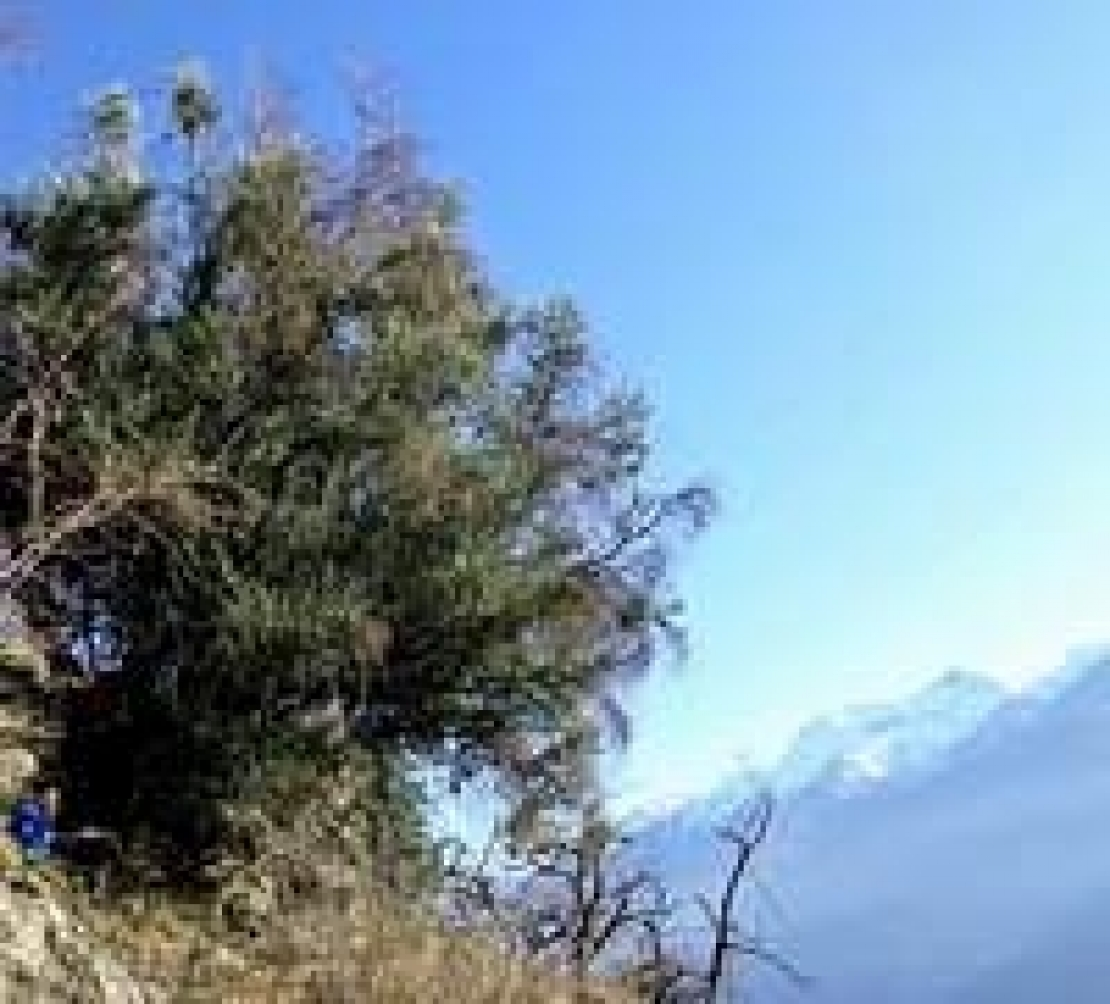 Olivi in Val di Susa: quando si pregava alla luce dell'olio delle Alpi