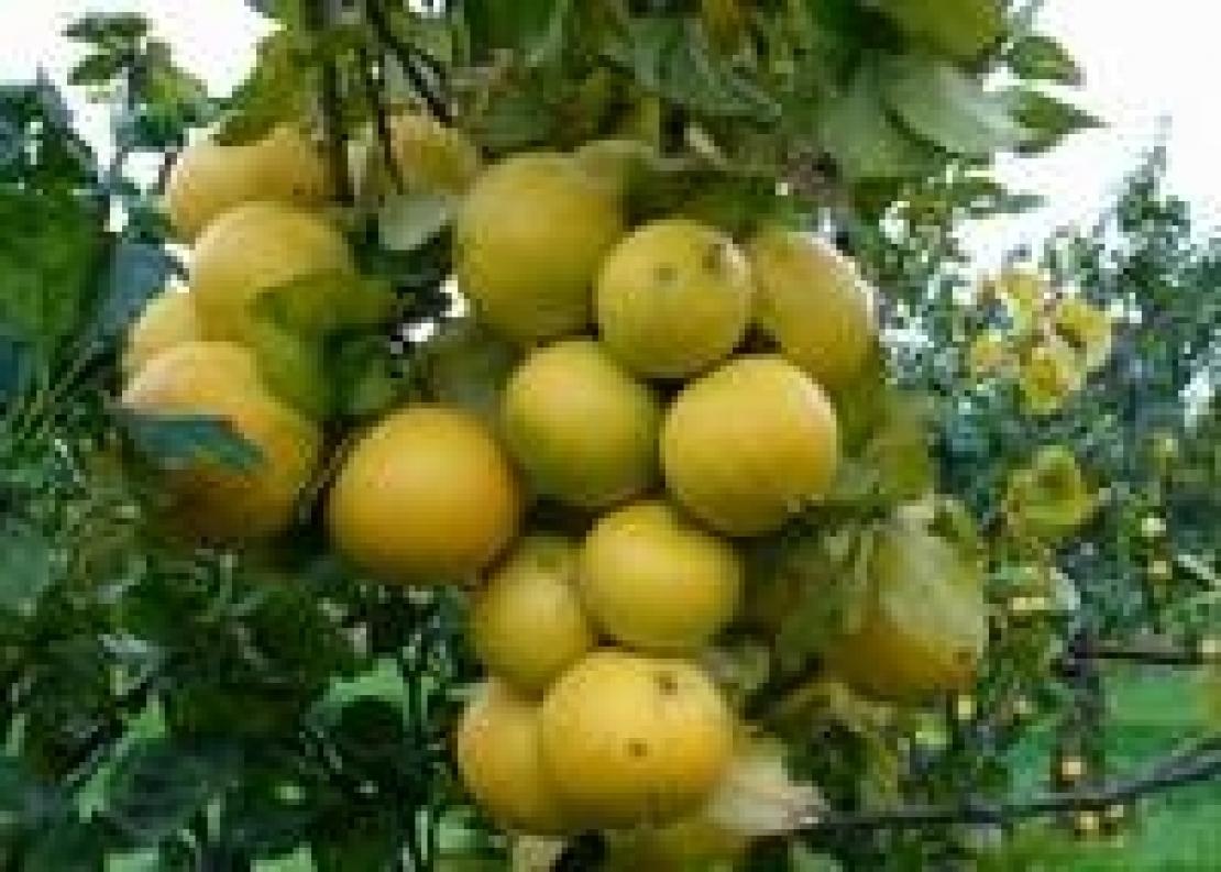 Il bergamotto, simbolo della Calabria, si proietta nel futuro