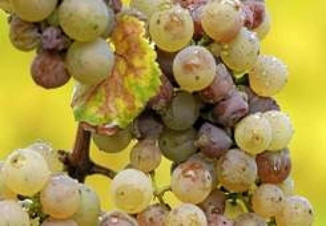 Svelato il segreto dei grandi vini bianchi muffati e dei suoi inconfondibili profumi