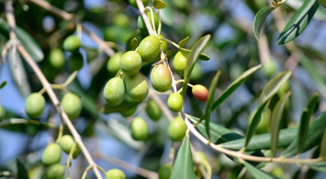Una corretta concimazione azotata riduce l'alternanza di produzione dell'olivo
