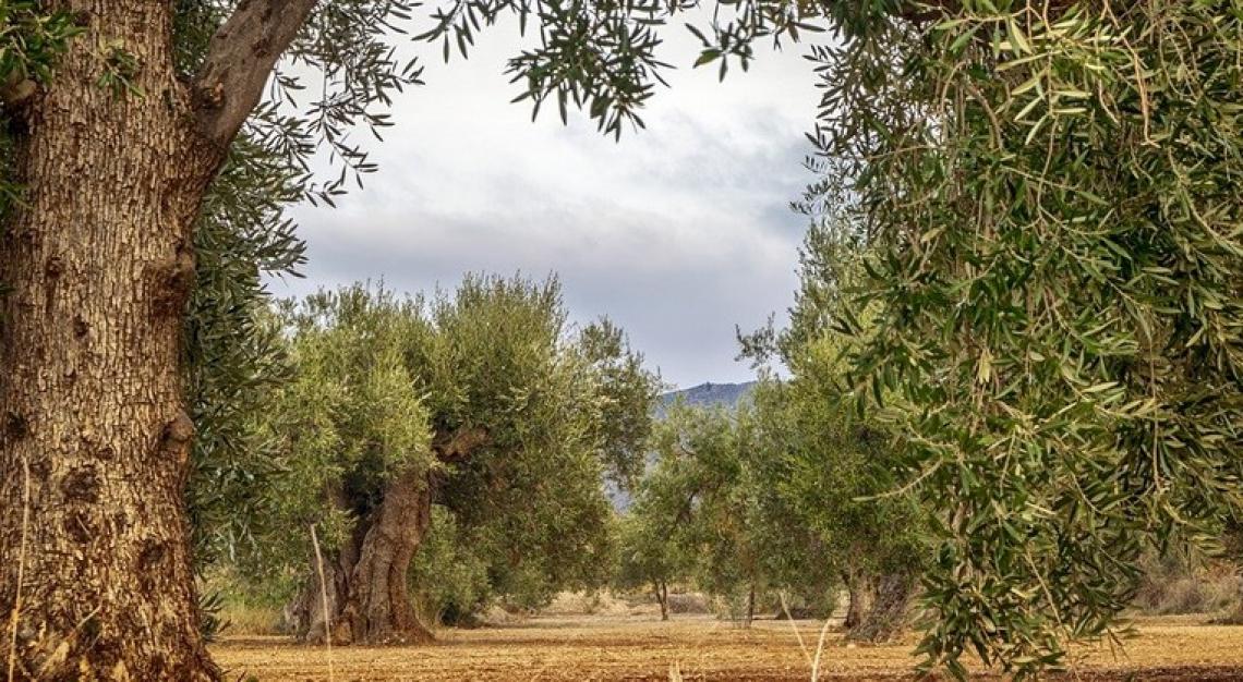 Maggiore efficienza e sostenibilità per l'olivicoltura barese