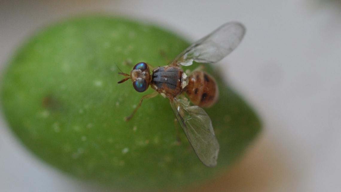 La resistenza della mosca dell'olivo agli insetticidi è scritta nel DNA