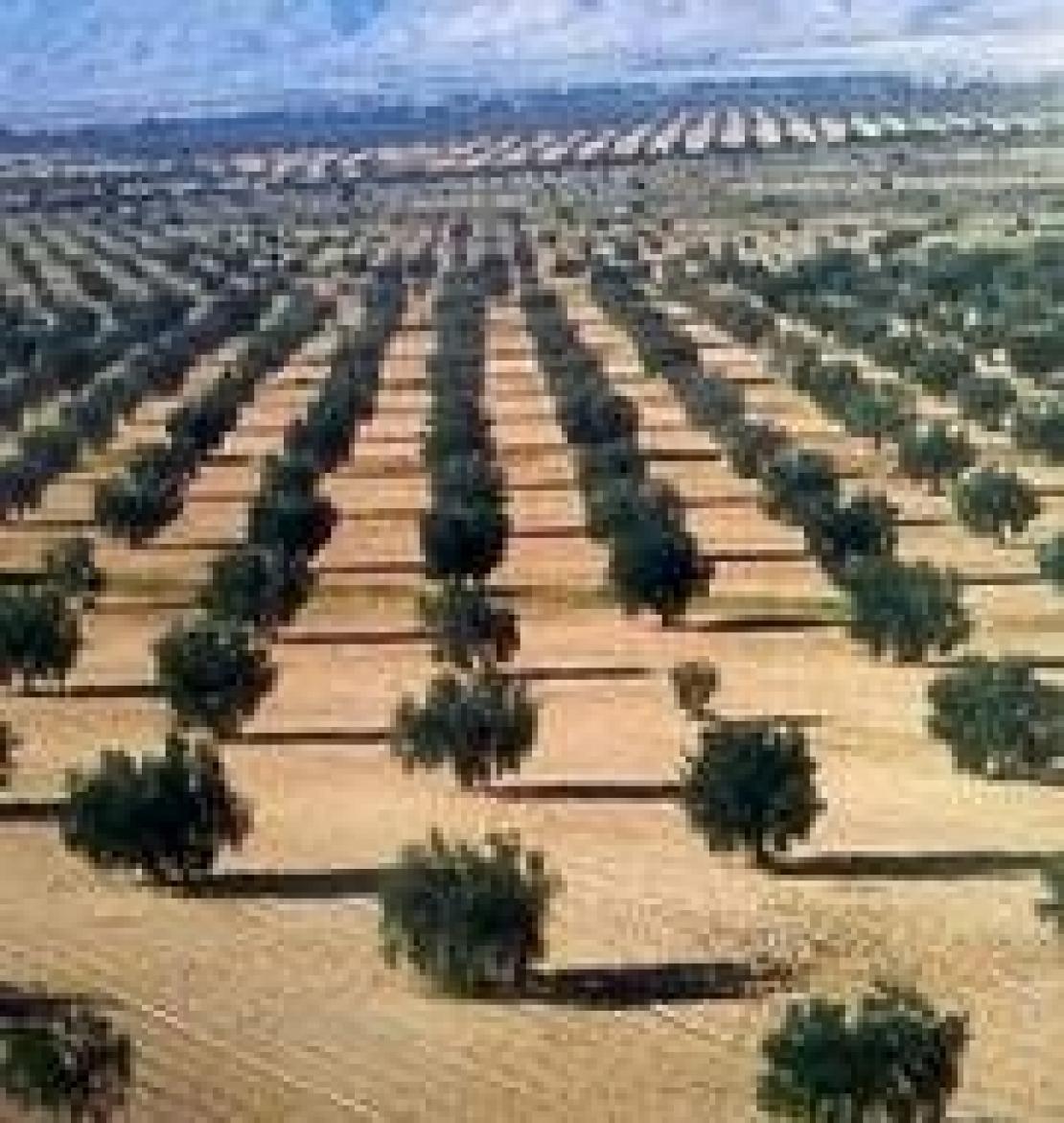 L'olio d'oliva tunisino e il colonialismo del Terzo Millennio