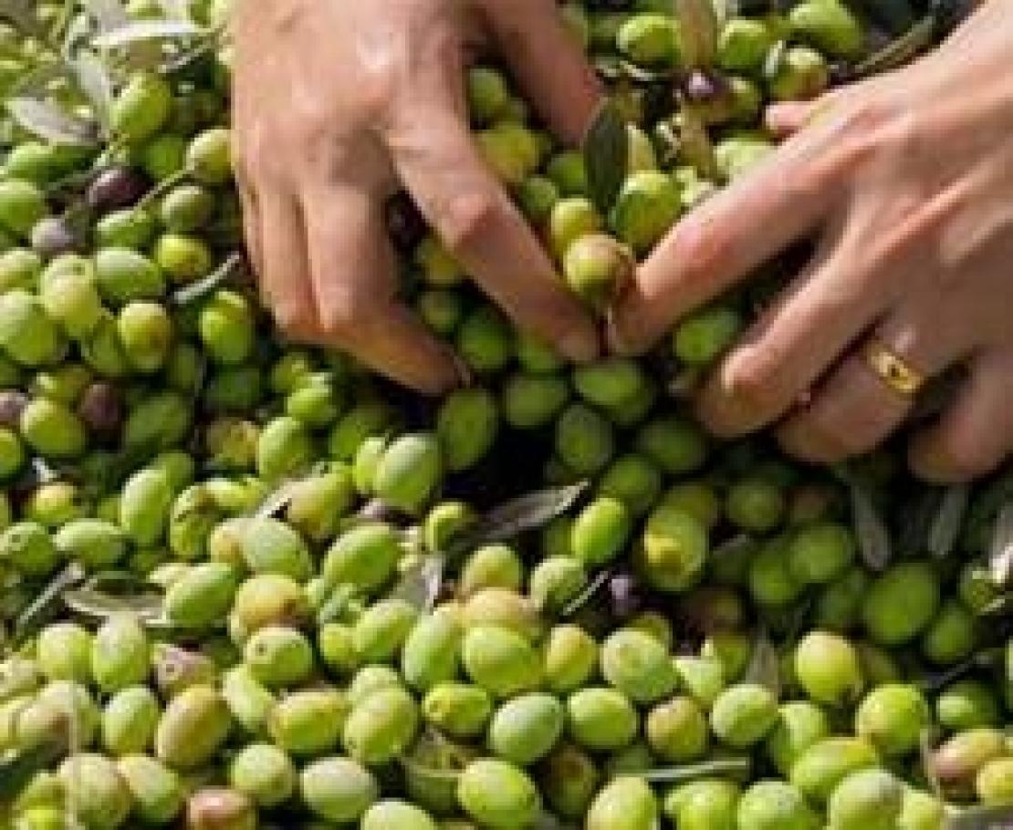 L'inerbimento con leguminose annuali autoseminanti può raddoppiare la produzione d'olive e d'olio