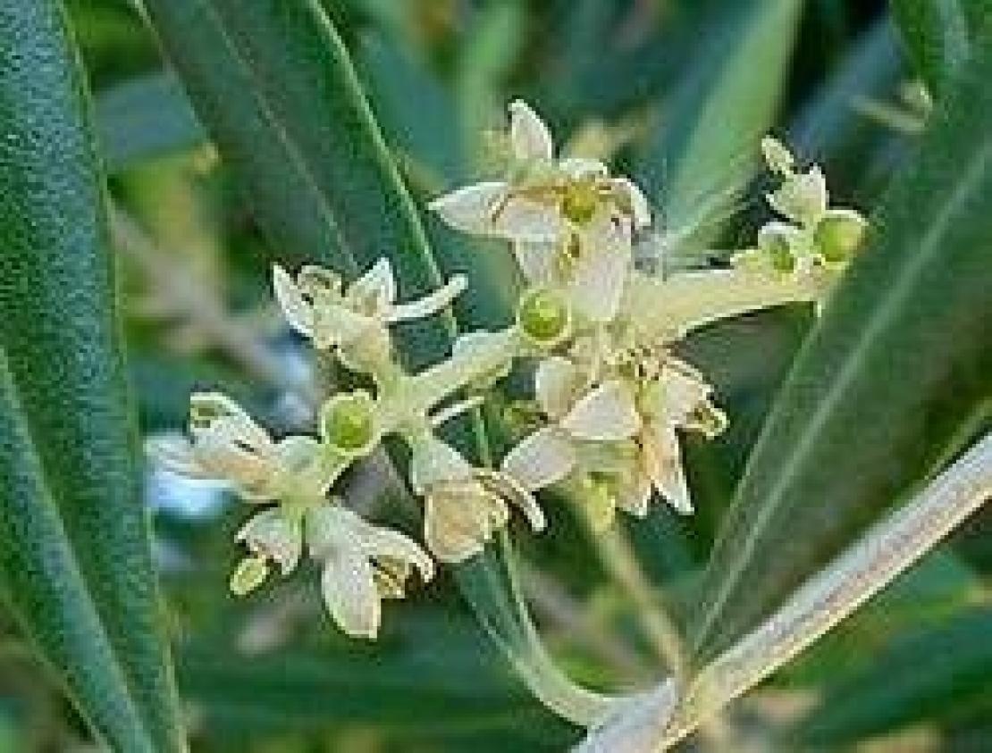 fioritura olivo periodo