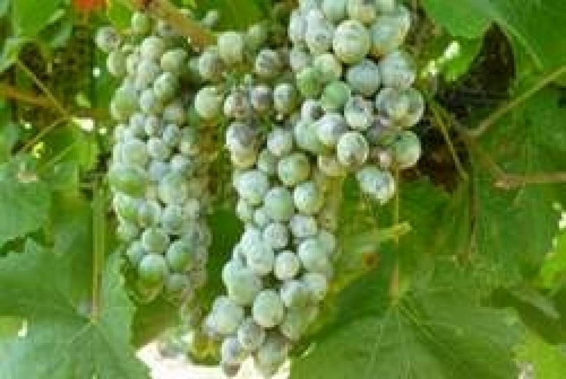 La contaminazione dei vini con pesticidi è questione di rilevanza mondiale