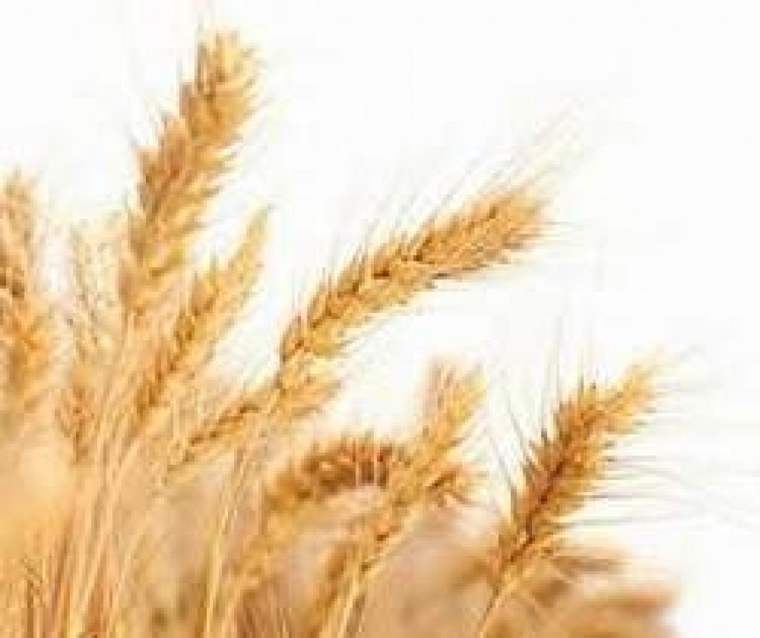La crisi del grano italiano: il Ministero convoca tavolo di filiera, gli chef indicano una soluzione