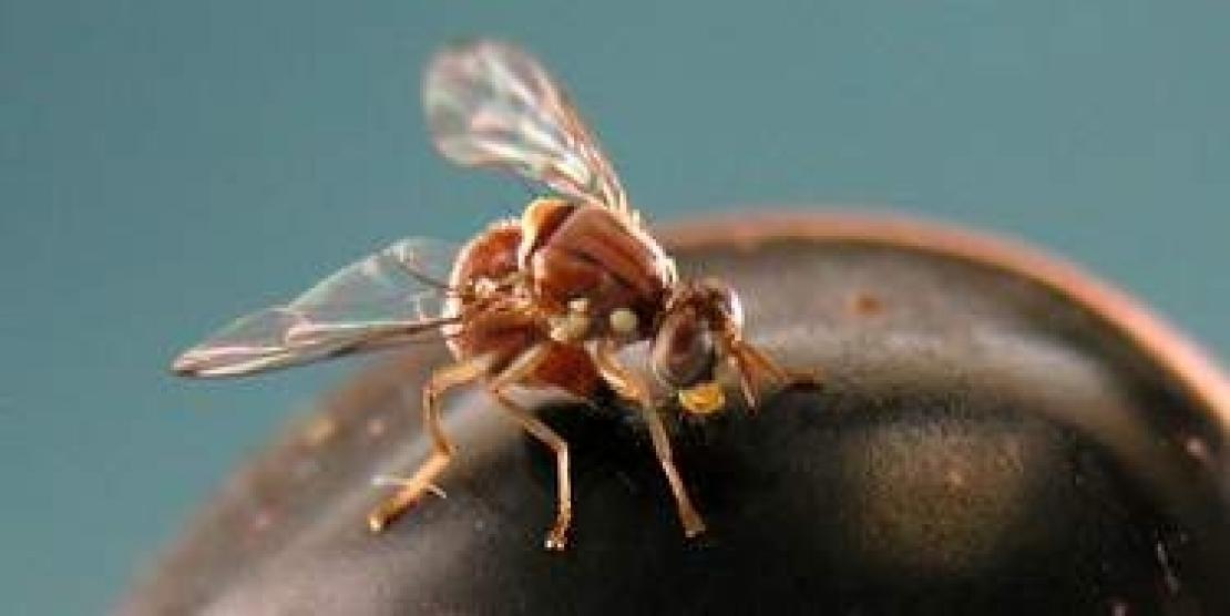 I riti e la socialità della mosca delle olive, un insetto complesso