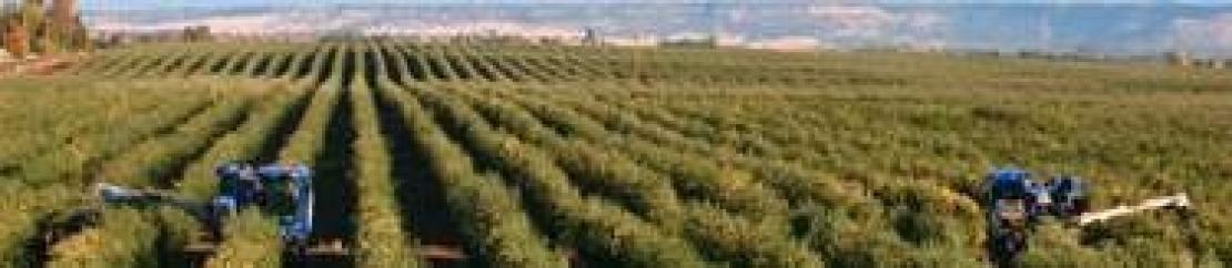 Una nuova patologia attacca l'olivo