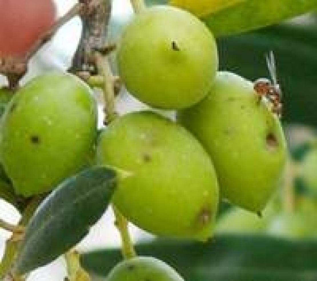 Il monitoraggio della mosca delle olive: vietato sbagliare