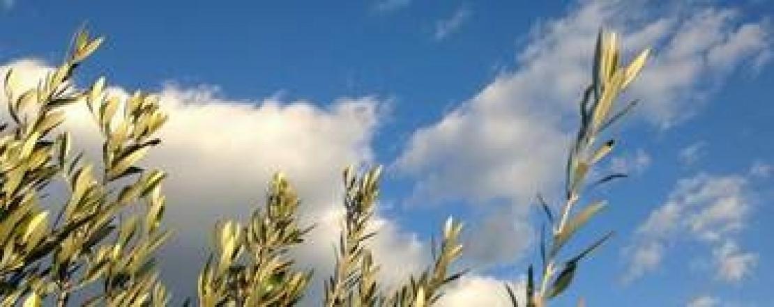 Lo strano caso della cultivar Taggiasca e l'allarme degli olivicoltori liguri