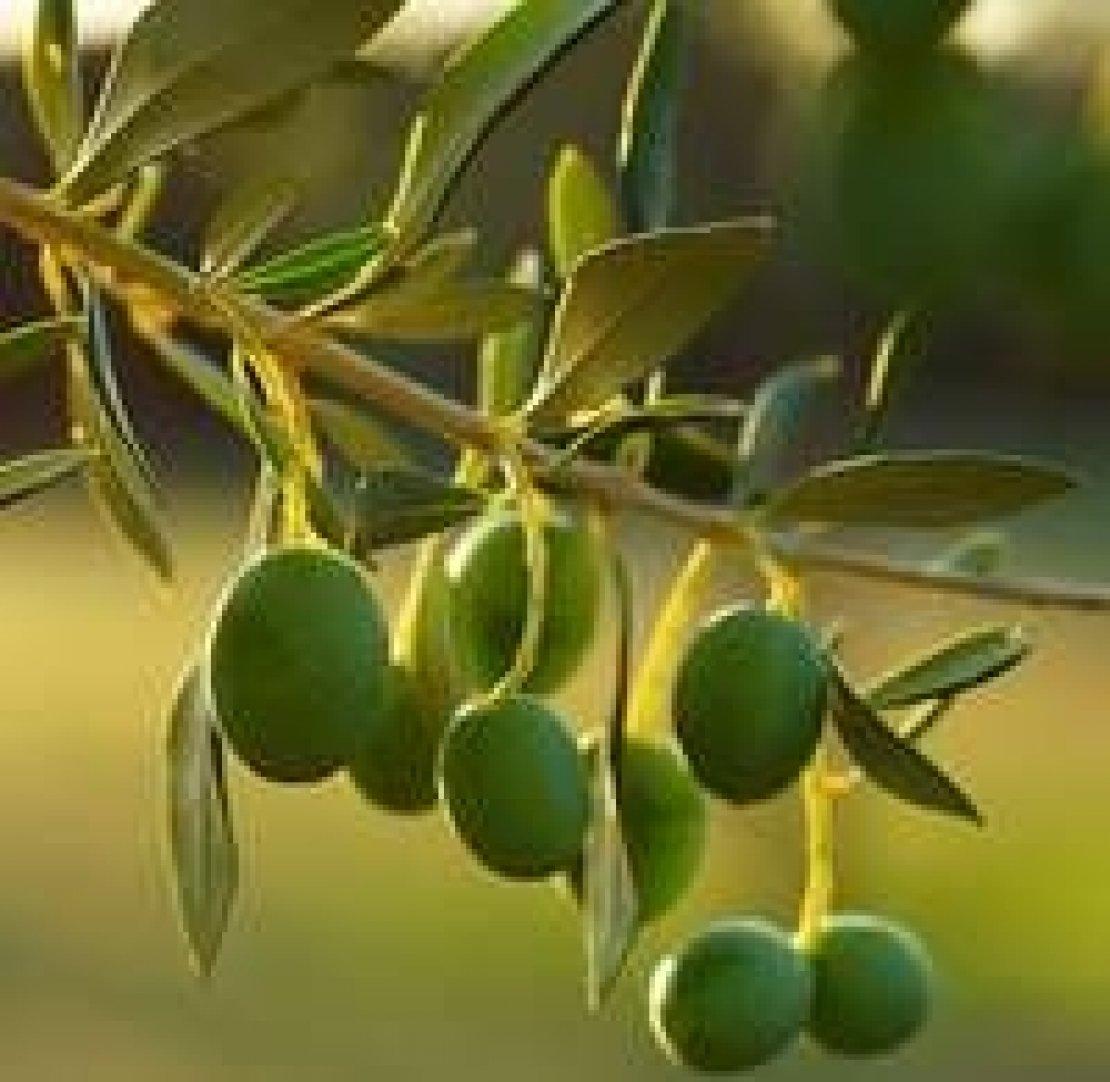 L'Italia dei mille campanili e delle mille varietà di olivo