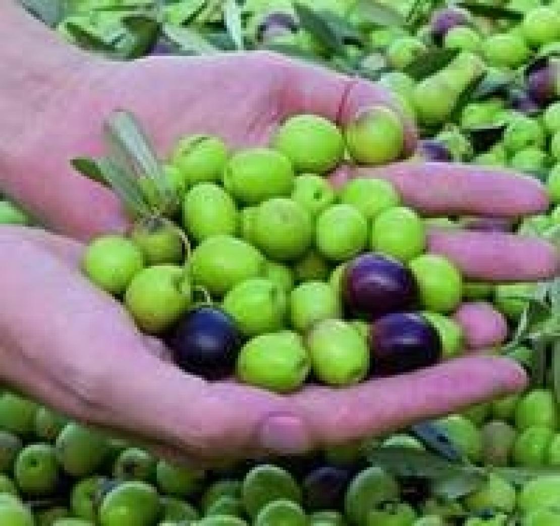 In arrivo gli aiuti comunitari accoppiati per il settore dell'olio d'oliva