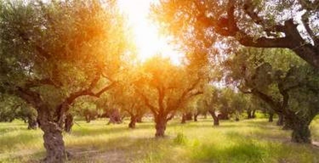 L'olivo e l'olio d'oliva contro il riscaldamento globale