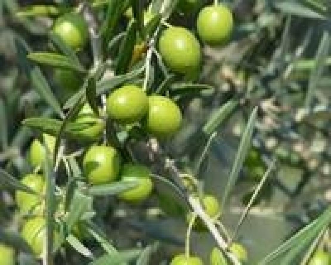 Anellatura sulle cime dell'olivo, conviene davvero?