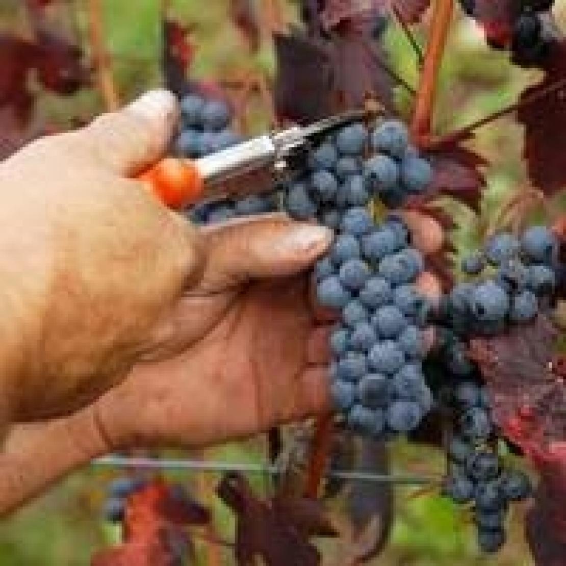 Una vendemmia di qualità per la Toscana vitivinicola