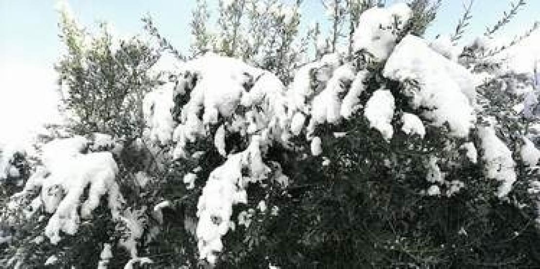 Olivo sotto la neve darà buoni frutti, antica saggezza popolare