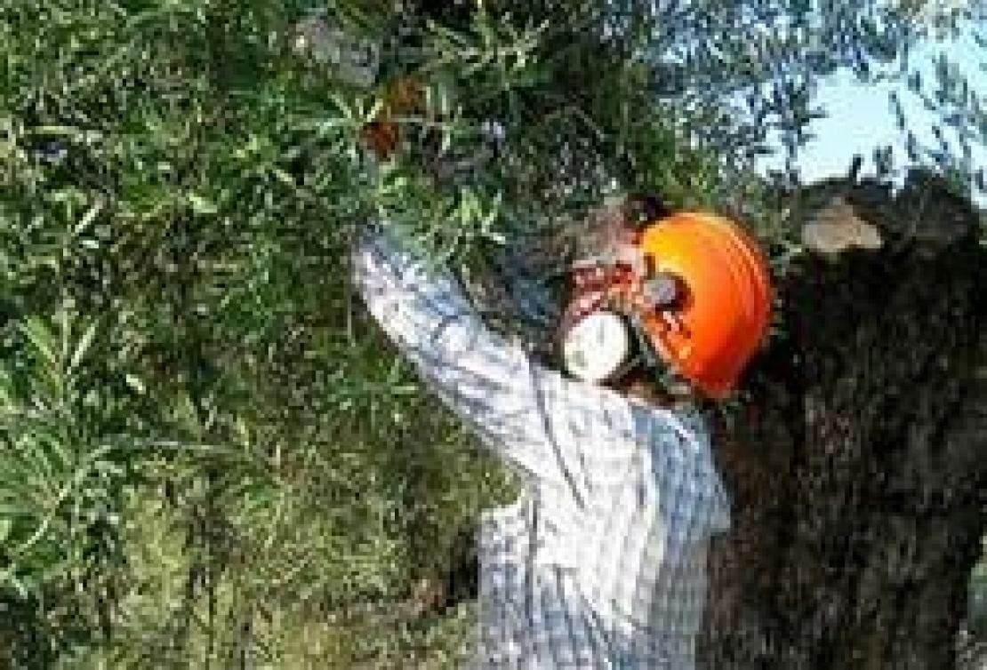Come Potare A Palla potare gli olivi in sicurezza è un obbligo di legge