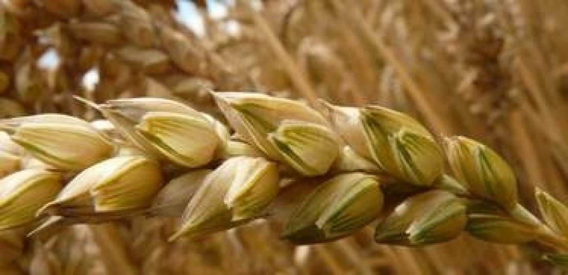 Abbassare il limite di micotossine nel grano duro per salvare la cerealicoltura italiana