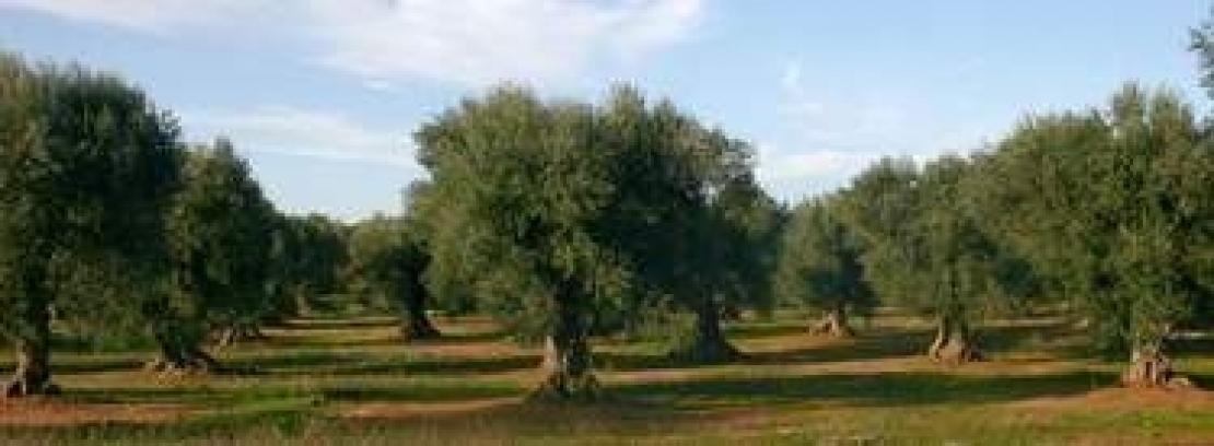 Dall'Assaggio al Paesaggio: rispettare e tramandare il valore dell'olivo e dell'olio