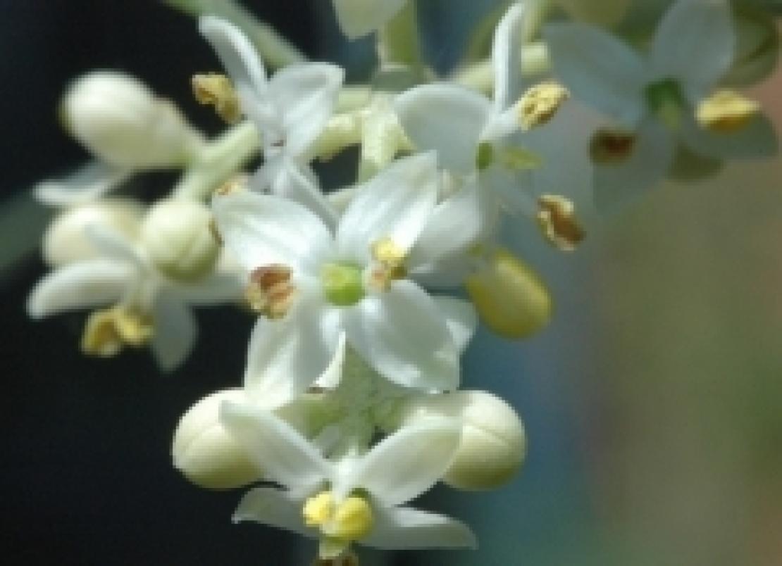 Siccità e gelo rischiano di compromettere la fioritura dell'olivo